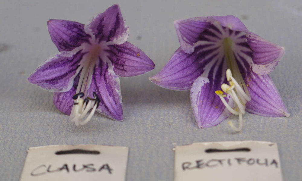 Dark Flowered Hostas